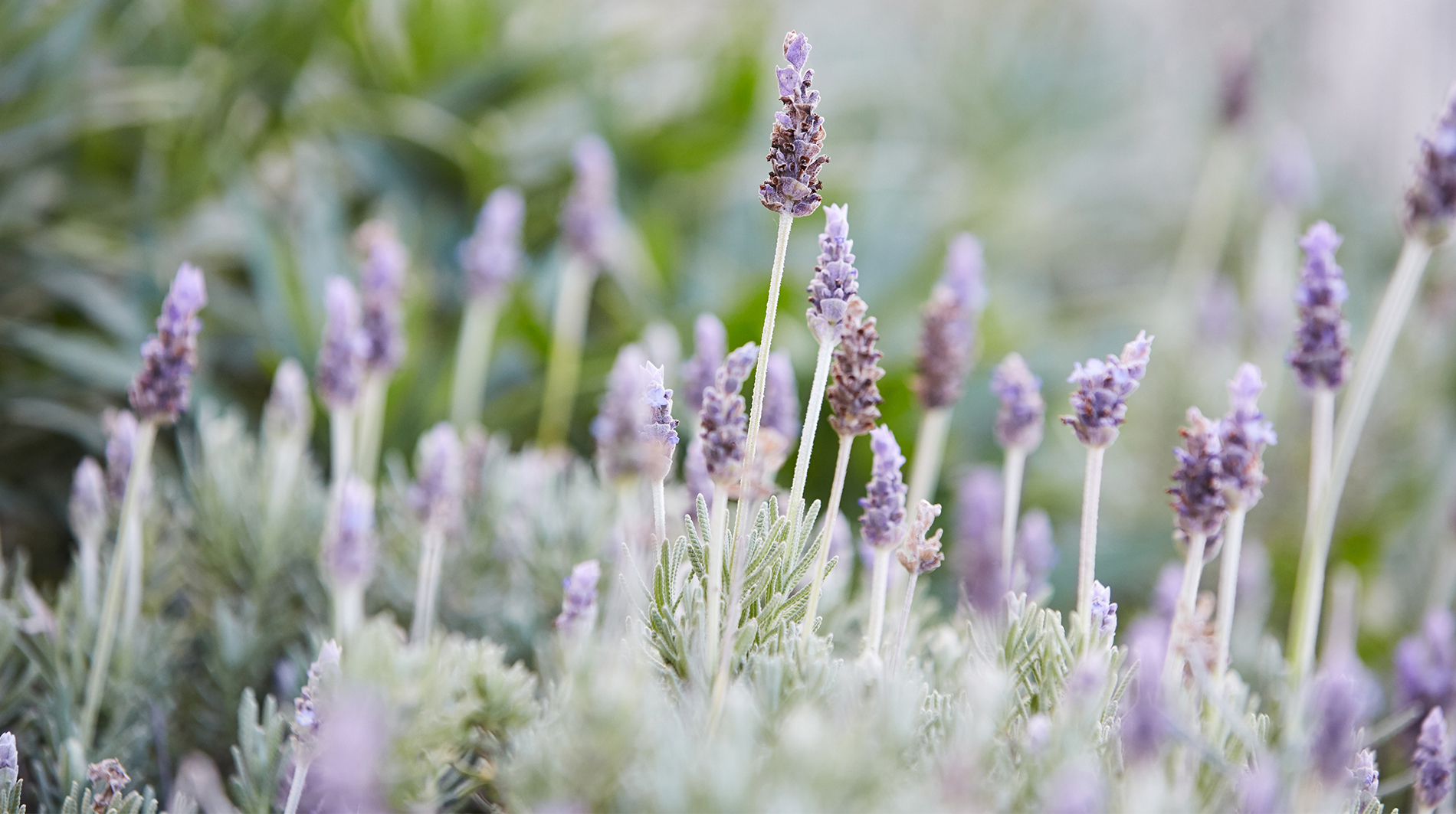 Spa at Carneros Inn lavender